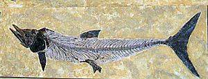 Fossil von Cimolichthys nepaholica im Denver Museum of Nature and Science