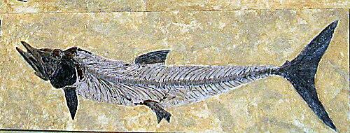 Cimolichthys