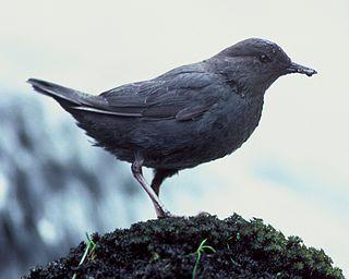Dipper Genus of birds