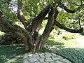 Cinnamomum camphora - Villa Melzi (Bellagio) - DSC02753.JPG
