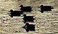Cinnamon Teal Sillouhettes Seedskadee NWR 01 (15091700881).jpg