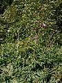 Cirsium heterophyllum 01.jpg