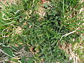 Cirsium japonicum 2.JPG