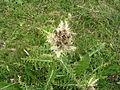 Cirsium spinosissimum (9896393195).jpg
