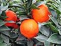 Citrus Clementina - panoramio.jpg