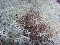 Cladonia portentosa fertile Jymm.jpg