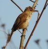 Clamorous reed warbler.jpg