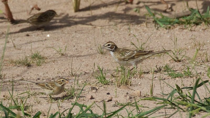 File:Clay-colored Sparrow & Lark Sparrow - Willow Tank - Portal - AZ - 2015-09-16at09-56-36 (21738334288).jpg