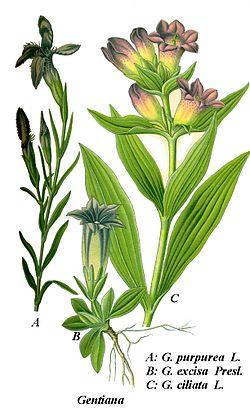 Cleaned-Illustration Gentiana purpurea.jpg