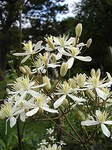 Clematis recta1a.UME.jpg