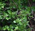 Clethra alnifolia in Christchurch Botanic Gardens 01.jpg