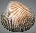 Clinocardium nuttallii (basket cockle) (Puget Sound, Washington State, USA) 1.jpg