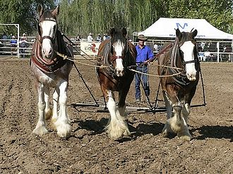 Harrow (tool) - Clydesdale horses pulling spike harrows, Murrurundi, NSW, Australia