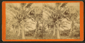 Cocoanut showing fruit, from Robert N. Dennis collection of stereoscopic views.png