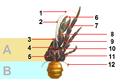 CoconutCrabDictionnaireDHistoireNaturelle1849.png