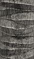 Cocos nucifera trunk (SLiM).jpg