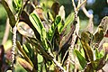 Codiaeum variegatum Red Tortulas 1zz.jpg