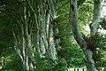 Coed Y Lôn Goed - Lôn Goed's trees - geograph.org.uk - 519129.jpg