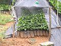 Coffee seedlings puerto rico.jpg