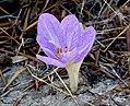 Colchicum lusitanium (32745320536).jpg