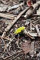 Coleóptero (Curculionidae) no Parque Estadual Paulo César Vinha.JPG