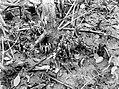 Collectie Nationaal Museum van Wereldculturen TM-10021257 Mangrovewortels Saint Martin fotograaf niet bekend.jpg