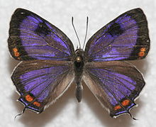 Colorado Hairstreak, MM.JPG