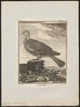 Columba palumbus - 1700-1880 - Print - Iconographia Zoologica - Special Collections University of Amsterdam - UBA01 IZ15600173.tif