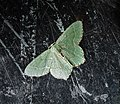 Common Emerald Hemithea aestivaria (45939935911).jpg