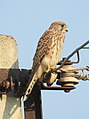 Common Kestrel Falco tinnunculus female by Dr. Raju Kasambe DSCN2086 (4).jpg