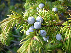 English: Common juniper var. depressa berries ...