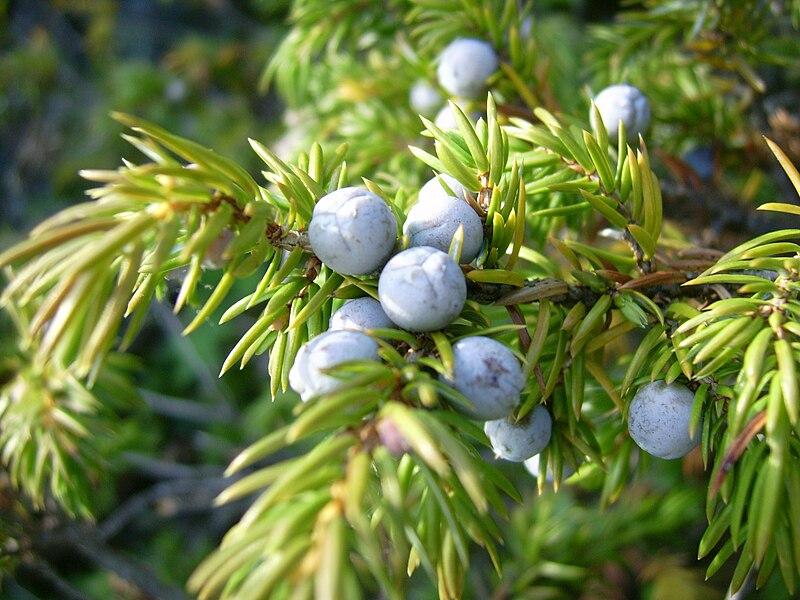 File:Common juniper berries (Mica B).JPG