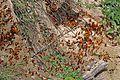 Common leopard fritillaries (Phalanta phalantha aethiopica).jpg