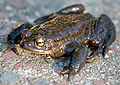 Common toad (aka).jpg