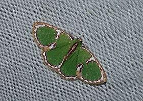Comostola cedilla (Geometridae Geometrinae) 3.jpg