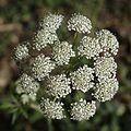 Conioselinum scopulorum flora1.jpg