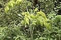 Conium maculatum-4461.jpg