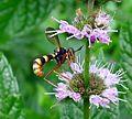 Conops quadrifasciatus. Female - Flickr - gailhampshire (1).jpg