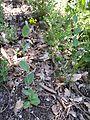 Conringia austriaca sl4.jpg