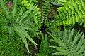 Conservatoire botanique national de Brest-Blechnum longicauda-15 07 03-ElFuncionario1 (19366591996).jpg