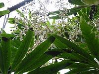 Conservatoire du bégonia 2015. Begonia luxurians 03.JPG