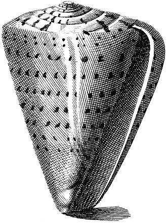 Aperture (mollusc) - Image: Conus betulinus 001
