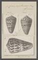 Conus papilionaceus - - Print - Iconographia Zoologica - Special Collections University of Amsterdam - UBAINV0274 086 02 0035.tif
