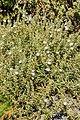 Convolvulus fruticulosus - Jardín Botánico del Centro de Visitantes - El Paso - La Palma.jpg