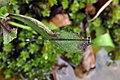 Copera vittata Blue Bush dart from Anaimalali hills DSC 2089 .jpg