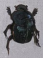 Coprophanaeus ensifer.jpg