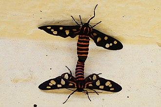 Arctiinae (moth) - Copulation in tiger moth