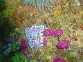 Coral nudibranchs DSC06844.JPG