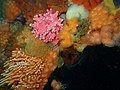 Corals at Humpback Ridge P4170215.jpg