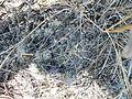 Coryphantha cornifera (5761387830).jpg
